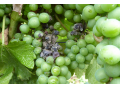 botrytis sur grappe
